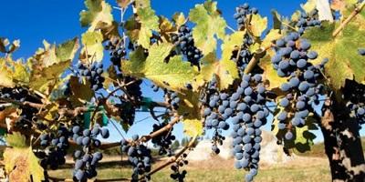 Estragos nas Vinhas provocadas por trovoadas